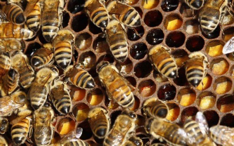 Klimatske promjene prijete opstanku divljih pčela
