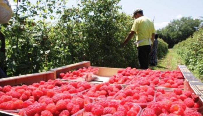 Ministarstvo mijenja uputstvo za dodjelu podsticaja za jagodičasto voće u ZDK