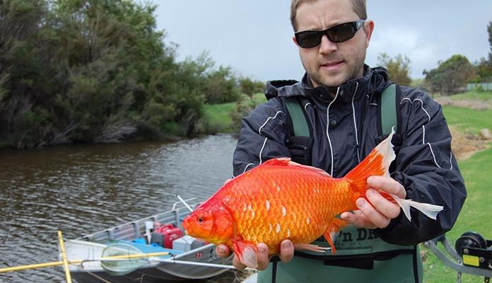 Pogledajte šta se dogodi kada zlatnu ribicu pustite u divljinu (VIDEO)