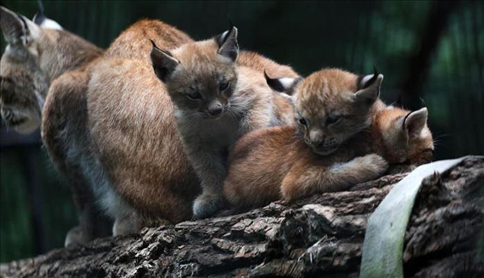 Zoološki vrt Novosibirsk bogatiji za troje mladunčadi risa