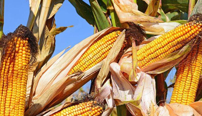 Smanjena proizvodnja kukuruza, duhana, krompira, jabuka, šljiva…