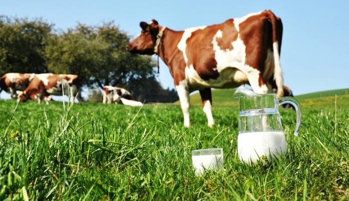 U imunom sistemu krava skriva se mogući lijek za HIV