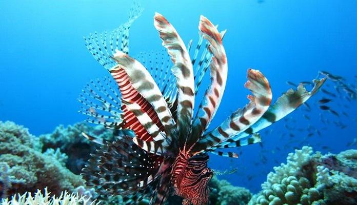 Morski paunovi prijete invazijom u Sredozemlje