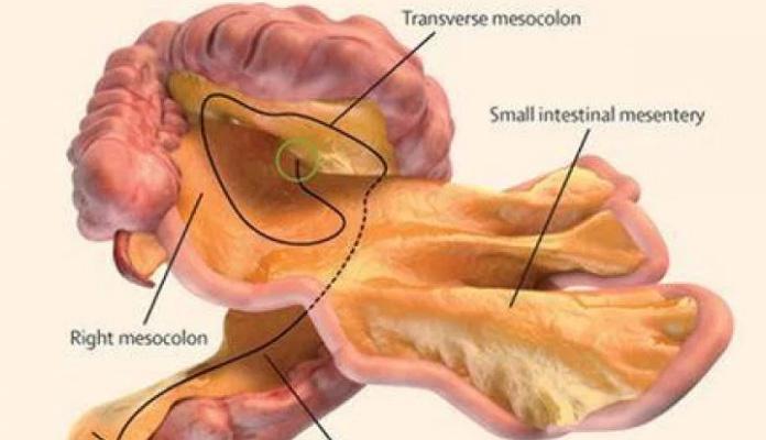 Američki naučnici otkrili novi ljudski organ?