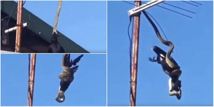 Bizaran lov pitona na krovu kuće (VIDEO)
