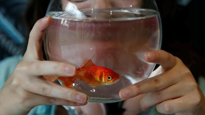 Nikad ne puštajte zlatnu ribicu u okoliš – izazvat će katastrofu (VIDEO)