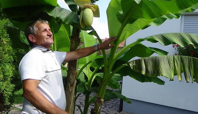 Banana rodila usred Sanskog Mosta