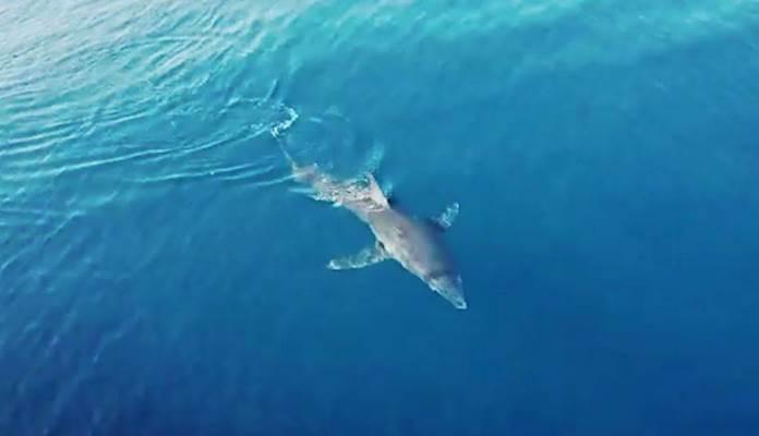 Ponovo snimljen morski pas: Približio se brodu u Korčulanskom kanalu (VIDEO)