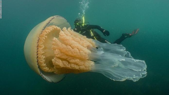 U britanskim vodama uočena džinovska meduza (VIDEO)