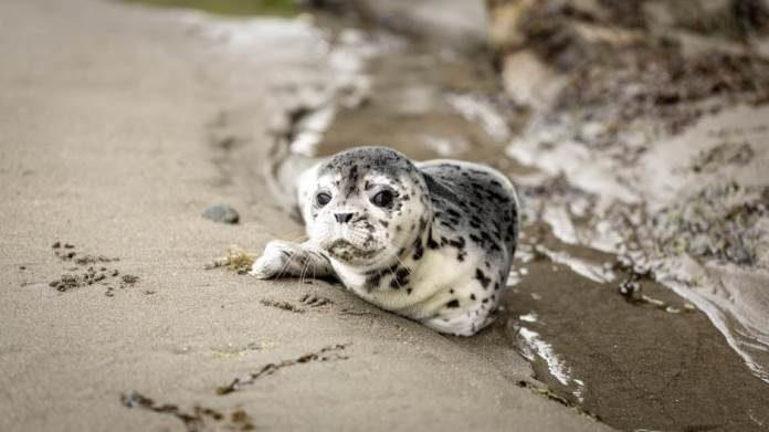 Bijesni tuljan razotkrio krijumčare australskoj policiji