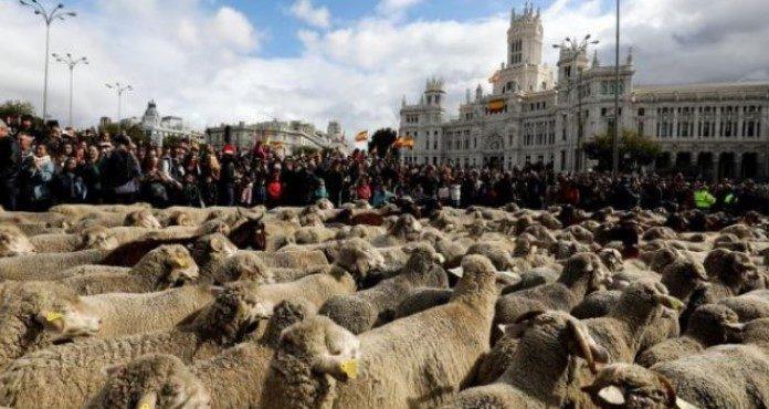 Na ulicama Madrida ovce zamijenile automobile