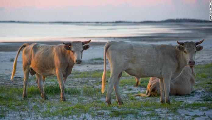 """Tri krave koje su """"odletjele"""" u more tokom uragana Dorian pronađene žive  (VIDEO)"""