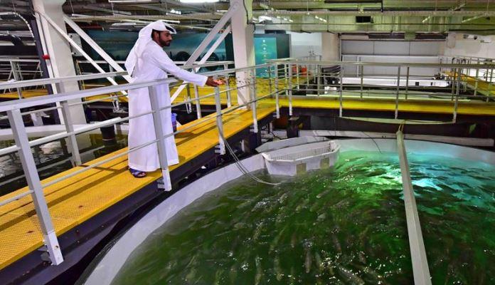 Usred pustinje u Dubaiju napravljeno uzgajalište lososa (VIDEO)