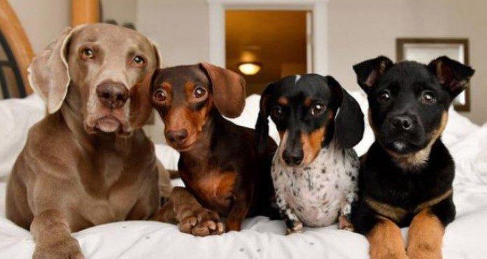 Počelo dosad najveće istraživanje o starenju pasa