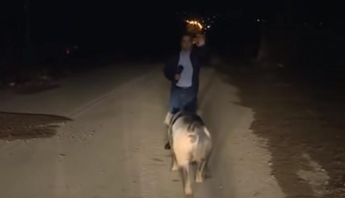 Svinja proganjala reportera tokom uključenja uživo (VDEO)