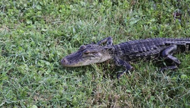 Beba Krokodila