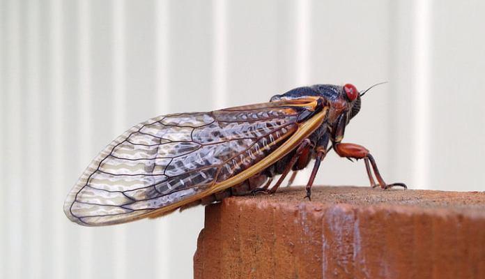 Cvrčak