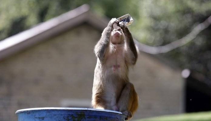 Majmuni u Indiji tehničaru ukrali uzorke krvi oboljelih od koronavirusa