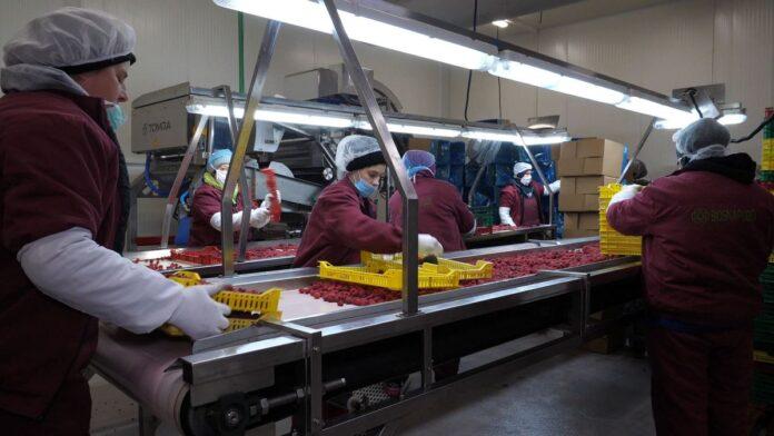 Vlada ZDK povećala podsticaj za podizanje novih zasada jagodičastog voća sa 300 na 700 KM po dunumu