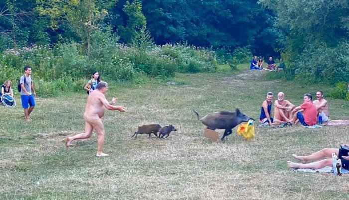Divlja svinja nudisti ukrala laptop