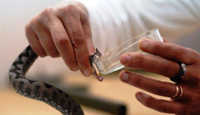Naučnici od zmijskog otrova napravili ljepilo za ekspresno zaustavljanje krvarenja