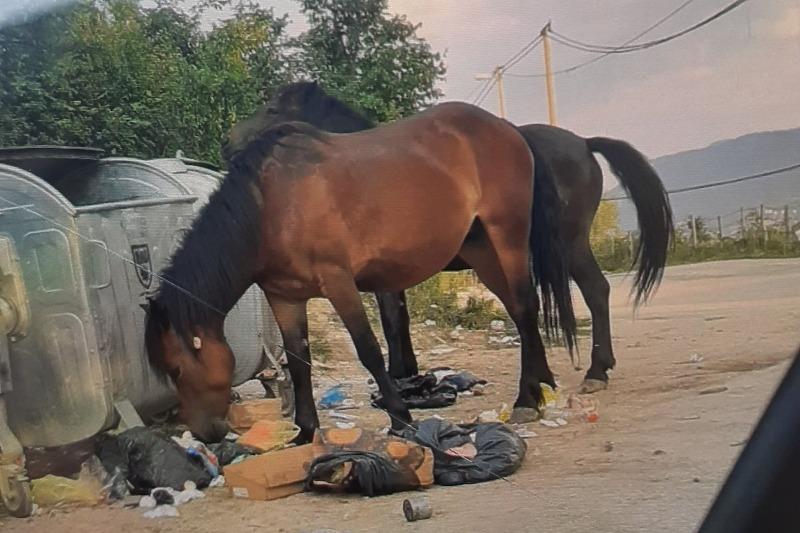 Divlji konji lutaju Poljinama i hrane se iz kontejnera za smeće