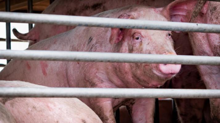 U Njemačkoj zabilježeni slučajevi afričke svinjske kuge