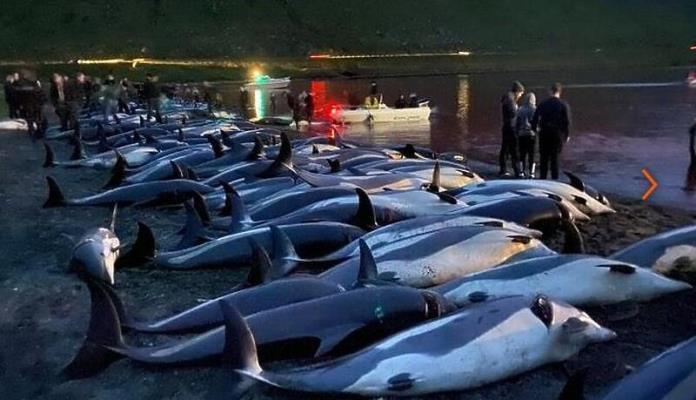 Na Farskim Otocima u jednom danu ubijeno više od 1.400 delfina